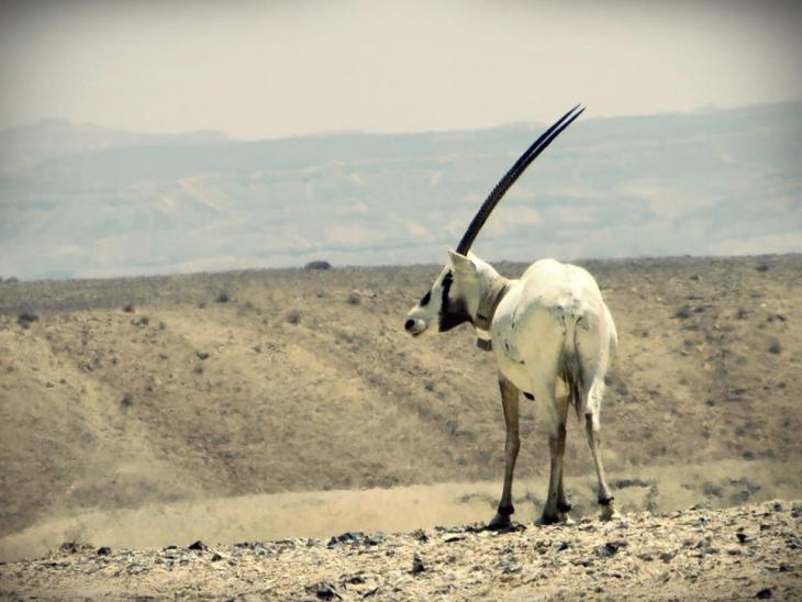 An Arabian Oryx. Courtesy of eltpics / Emma Newman Segev. Creative Commons 2.0