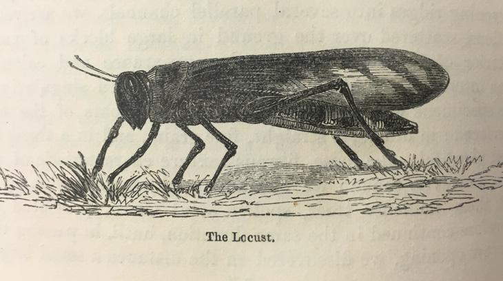 Schistocerca gregaria, the desert locust, taken from James Augustus St John's account of his travels in Egypt and Nubia, published in 1845. Courtesy of the British Library