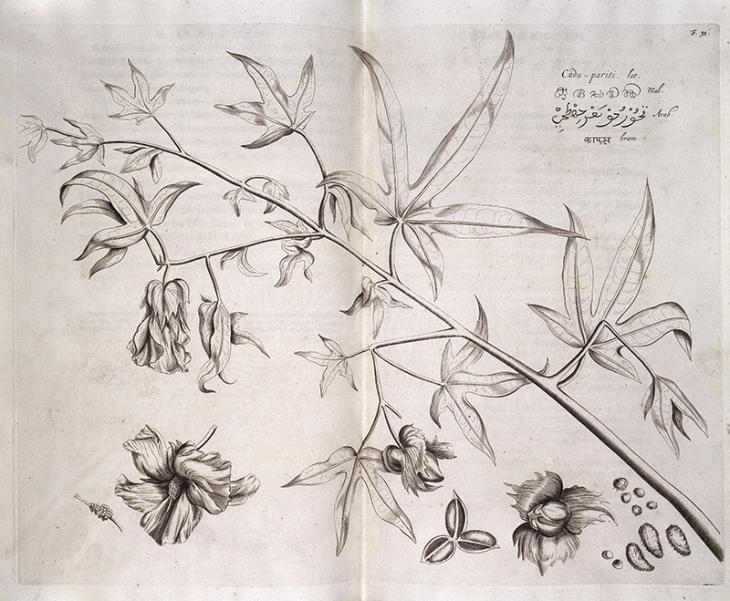 Cudu-pariti, Hortus Indicus Malabaricus, a cotton Plant indigineous to India. Creative Commons (Wellcome Collection)