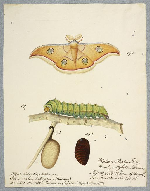 The silkworm: BL Image: Add.Or.4986. File name F60107-26