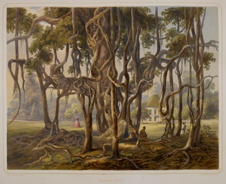An illustration of a Banyan tree similar to the enormous Great Banyan in the botanical garden, Kolkata. From Views of Calcutta and its Environs by Sir Charles D'Oyly. 12613.dd.22 © British Library Board 2014