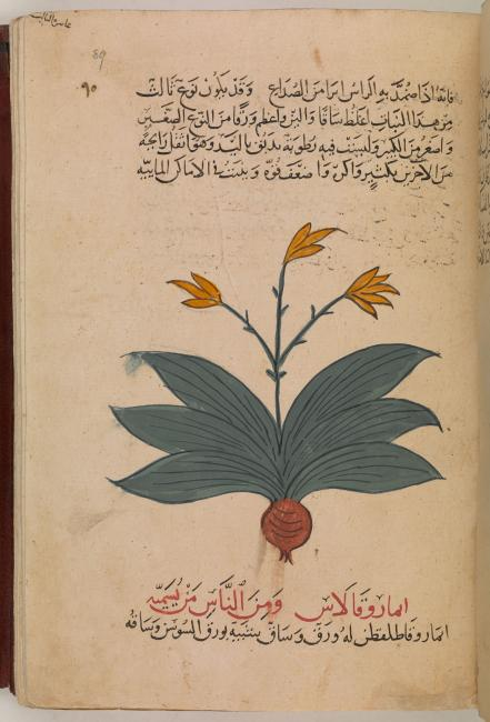 Dioscorides' Materia Medica lists the humoral qualities of drugs. Or. 3366, f. 89r